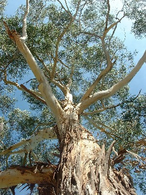 Tree in Canberra