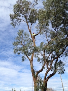 Jim's Trees worker pruning a large eucalyptus tree