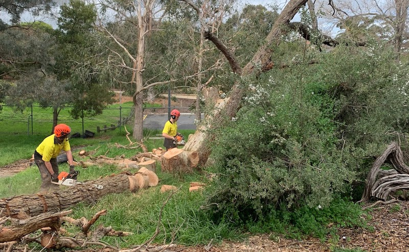 Council Works - Two Workers Chainsawing A Big Tree